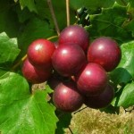 Red Muscadine Grapes